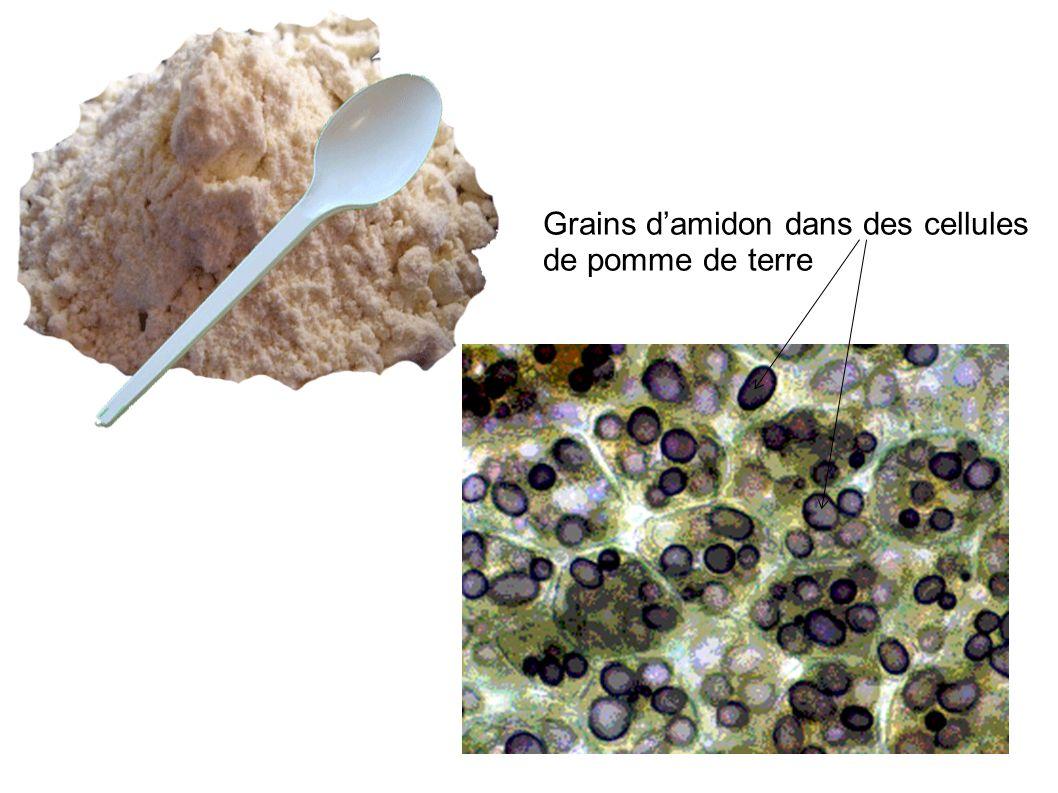 Grains d'amidon dans des cellules de pomme de terre
