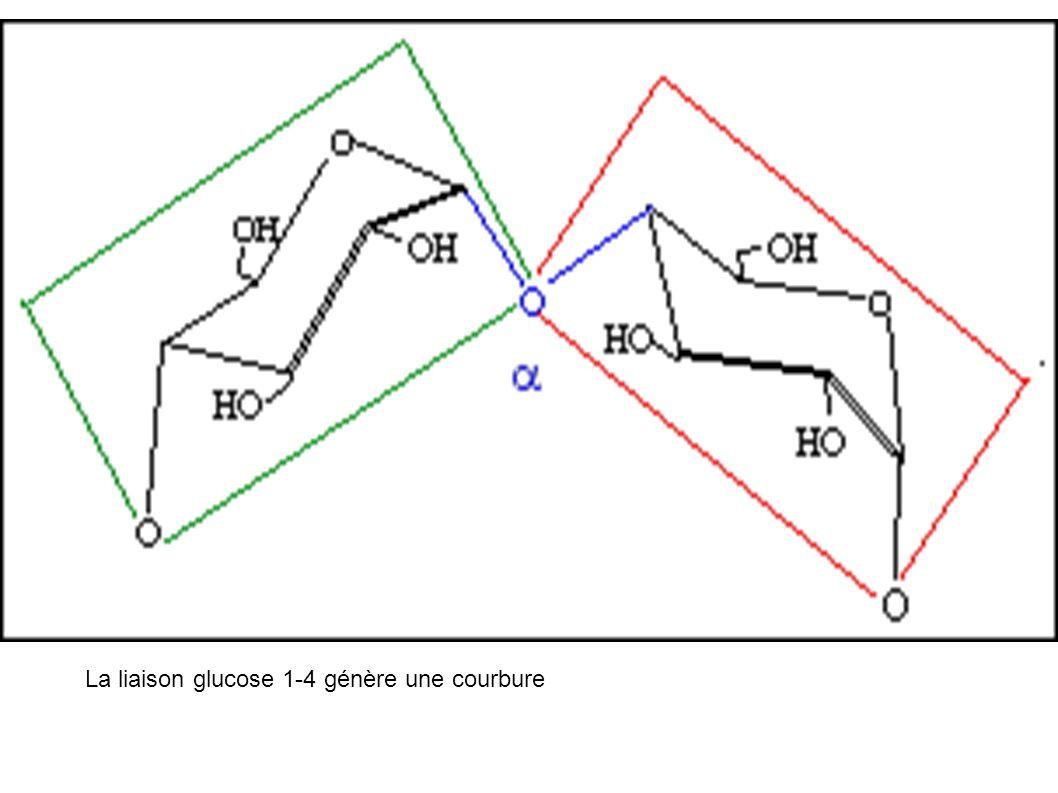 La liaison glucose 1-4 génère une courbure