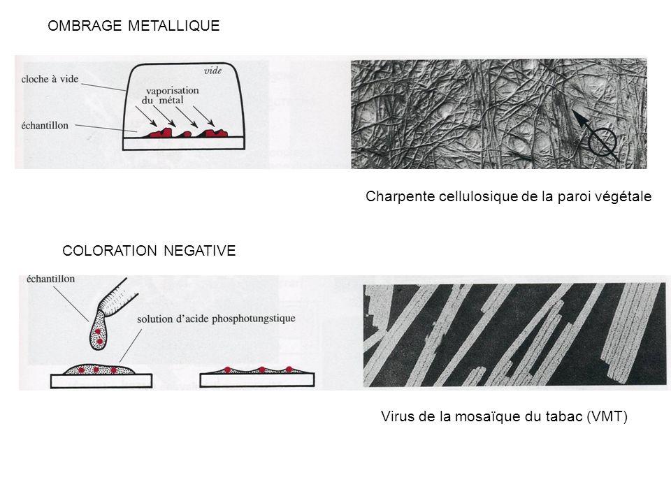 OMBRAGE METALLIQUE Charpente cellulosique de la paroi végétale.