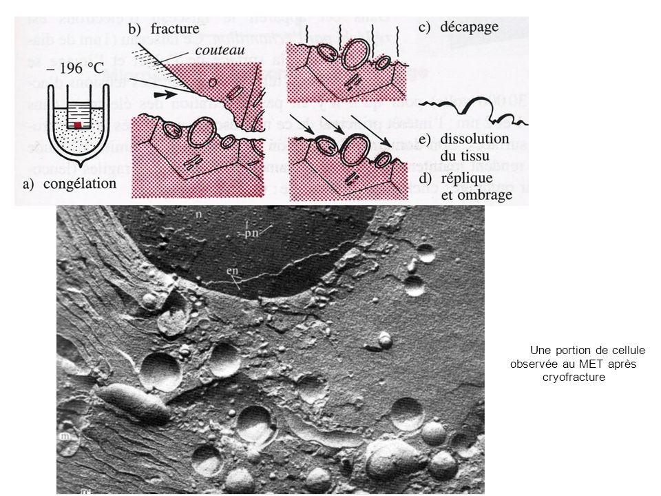 Une portion de cellule observée au MET après cryofracture