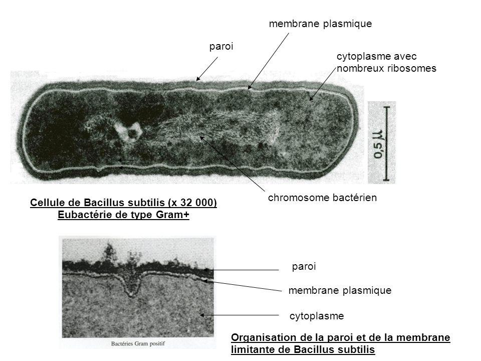 Eubactérie de type Gram+