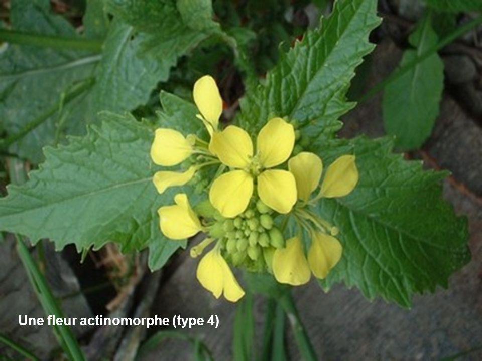 Une fleur actinomorphe (type 4)