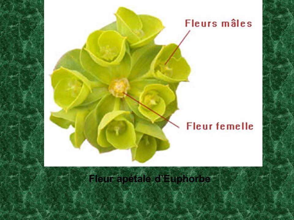 Fleur apétale d'Euphorbe