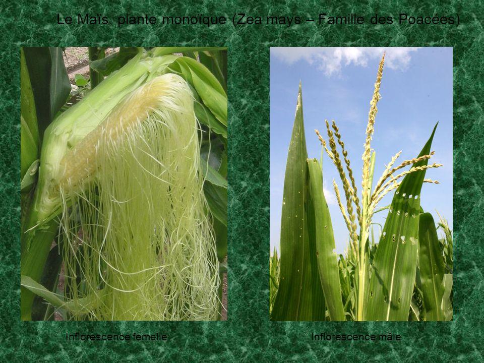 Le Maïs, plante monoïque (Zea mays – Famille des Poacées)