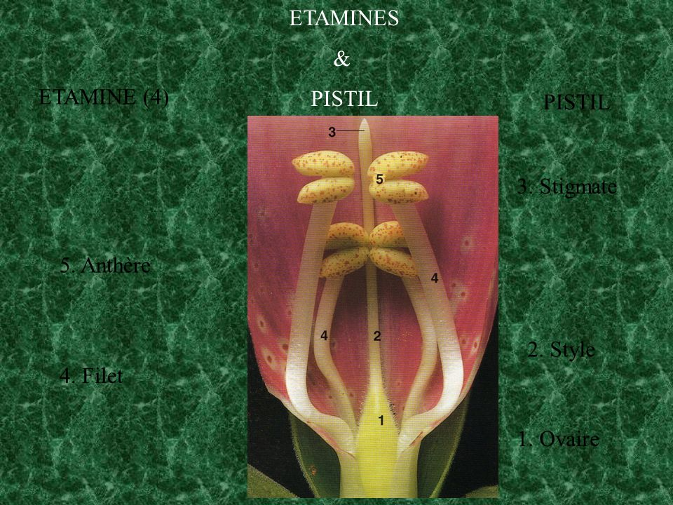 ETAMINES & PISTIL ETAMINE (4) PISTIL 3. Stigmate 5. Anthère 2. Style 4. Filet 1. Ovaire