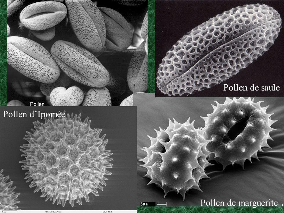Pollen de saule Pollen d'Ipomée Pollen de marguerite