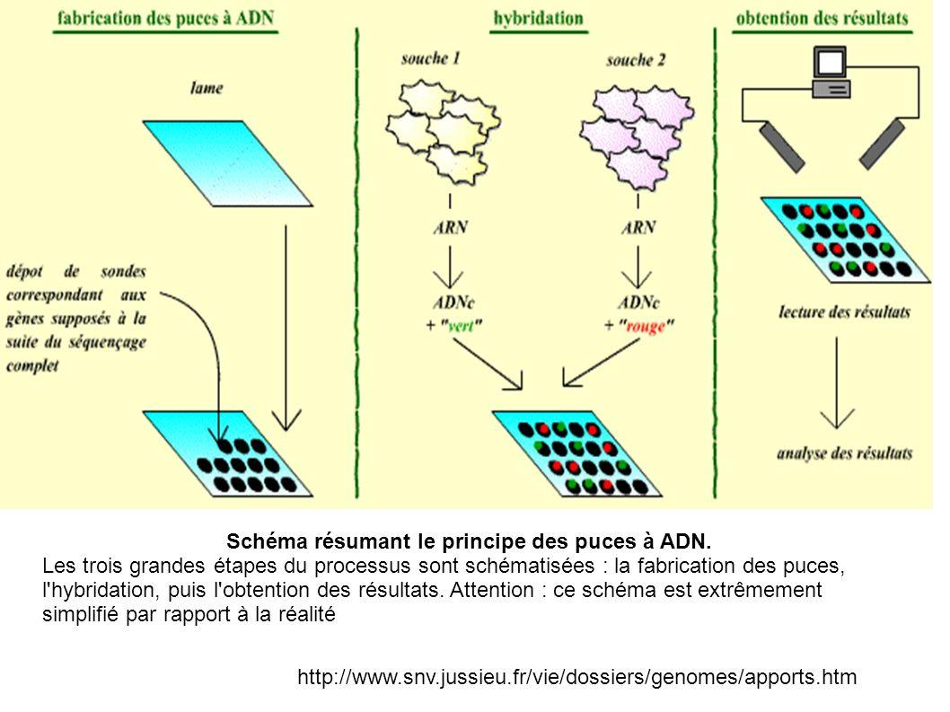 Schéma résumant le principe des puces à ADN.