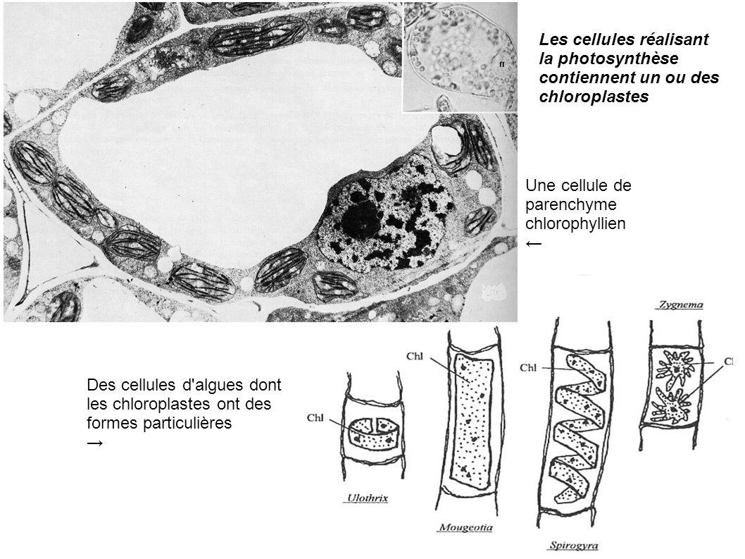 Les cellules réalisant la photosynthèse contiennent un ou des chloroplastes