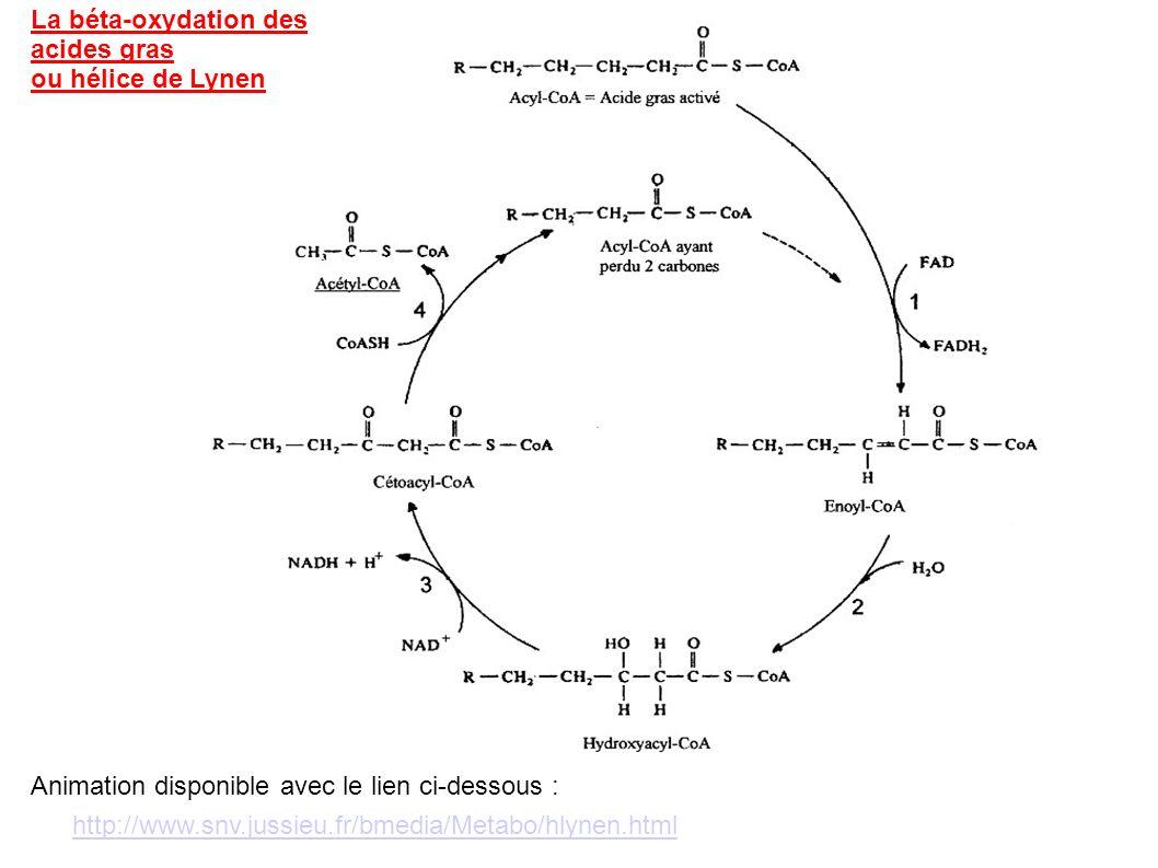 La béta-oxydation des acides gras