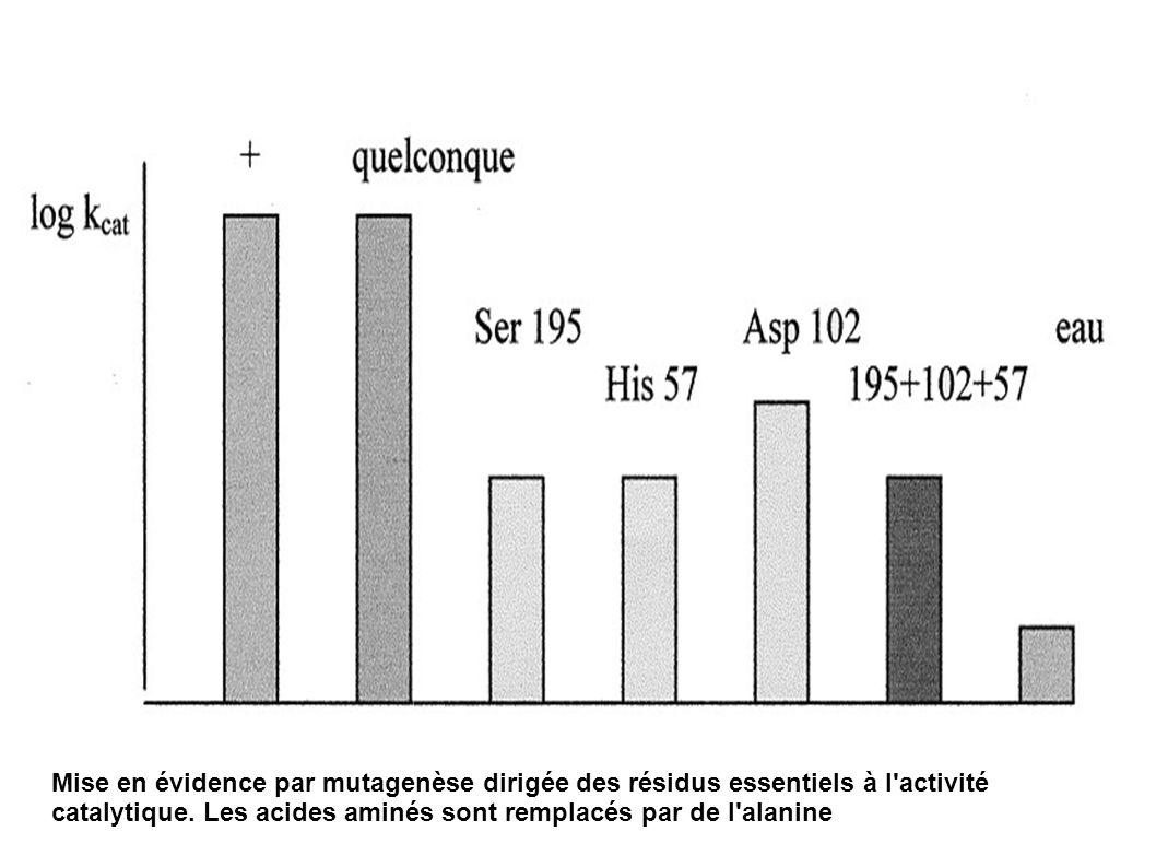 Mise en évidence par mutagenèse dirigée des résidus essentiels à l activité catalytique.