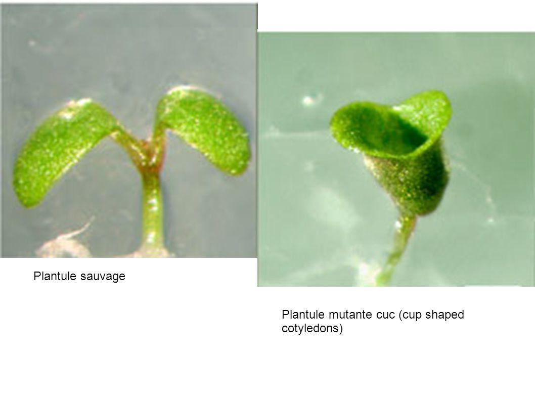 Plantule sauvage Plantule mutante cuc (cup shaped cotyledons)
