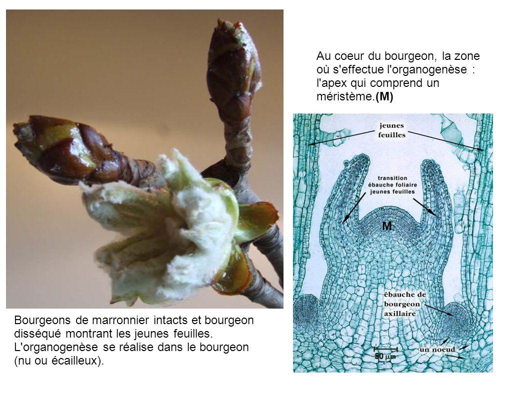 Au coeur du bourgeon, la zone où s effectue l organogenèse : l apex qui comprend un méristème.(M)