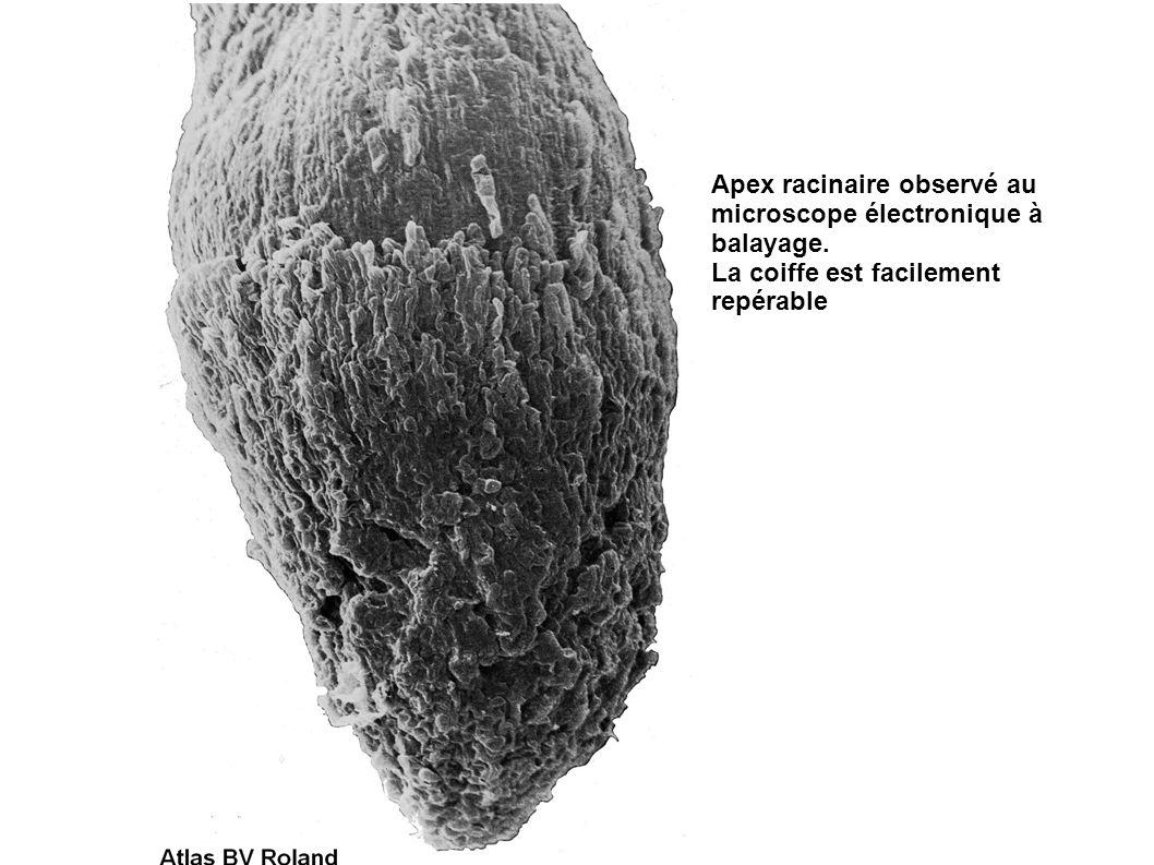 Apex racinaire observé au microscope électronique à balayage.