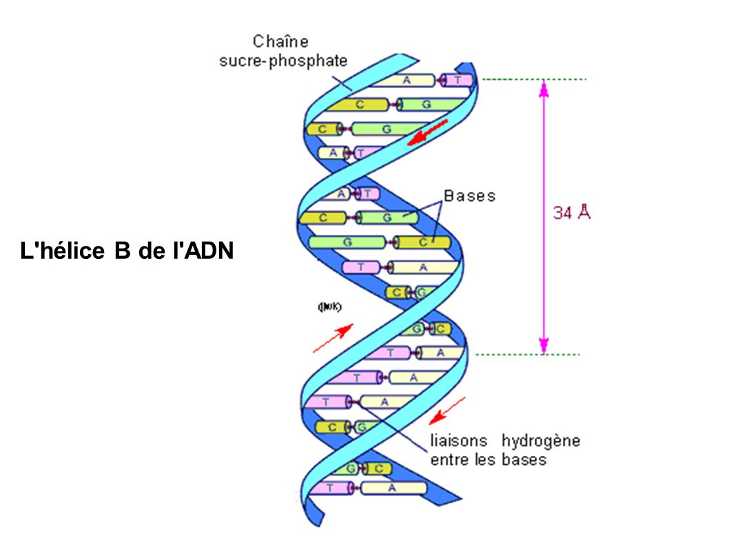 L hélice B de l ADN