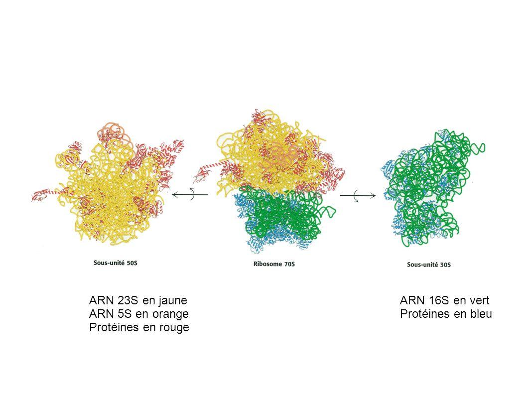 ARN 23S en jaune ARN 5S en orange Protéines en rouge ARN 16S en vert Protéines en bleu