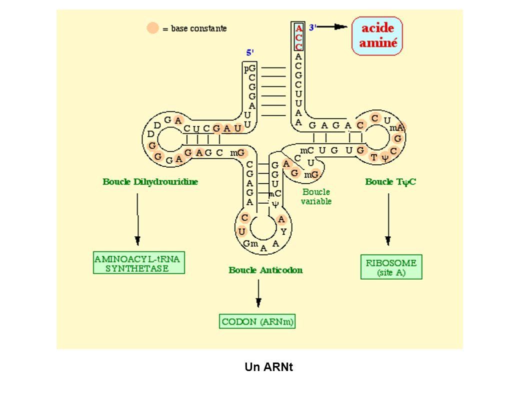 Un ARNt
