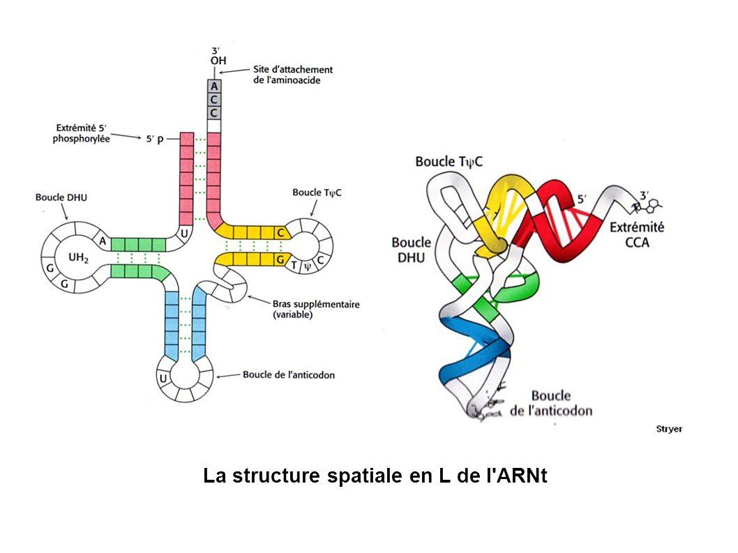 La structure spatiale en L de l ARNt