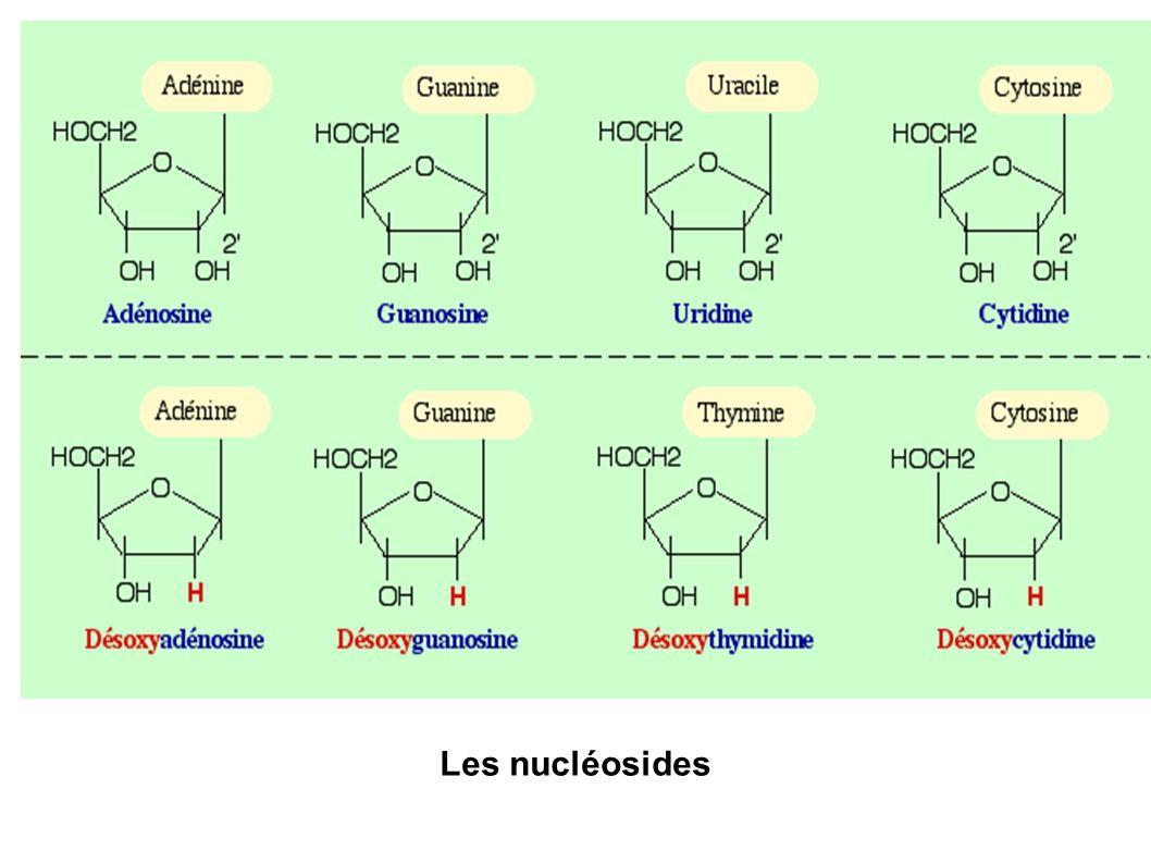 Les nucléosides