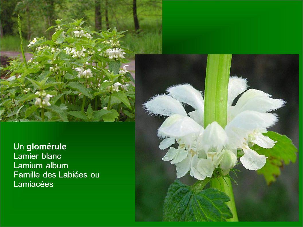 Un glomérule Lamier blanc Lamium album Famille des Labiées ou Lamiacées