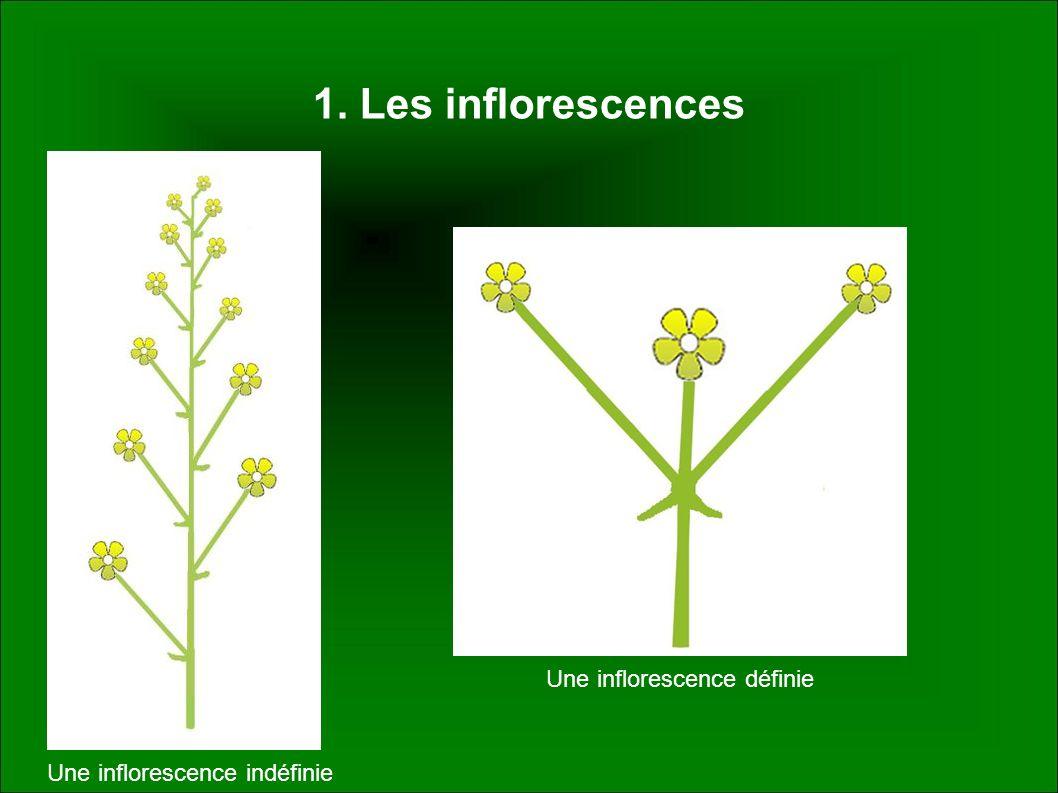 Une inflorescence définie