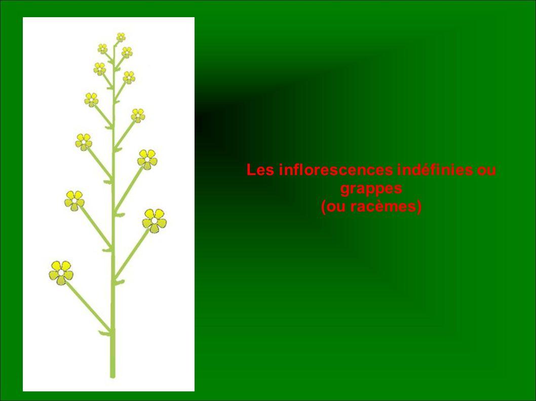Les inflorescences indéfinies ou grappes