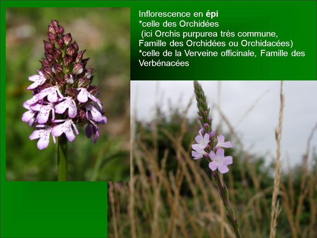 Inflorescence en épi *celle des Orchidées. (ici Orchis purpurea très commune, Famille des Orchidées ou Orchidacées)