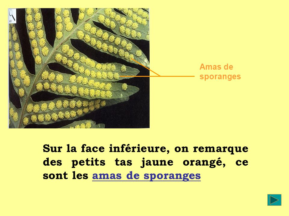 Amas de sporanges Sur la face inférieure, on remarque des petits tas jaune orangé, ce sont les amas de sporanges.