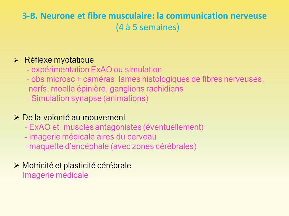 3-B. Neurone et fibre musculaire: la communication nerveuse (4 à 5 semaines)