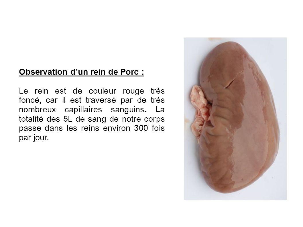 Observation d'un rein de Porc :