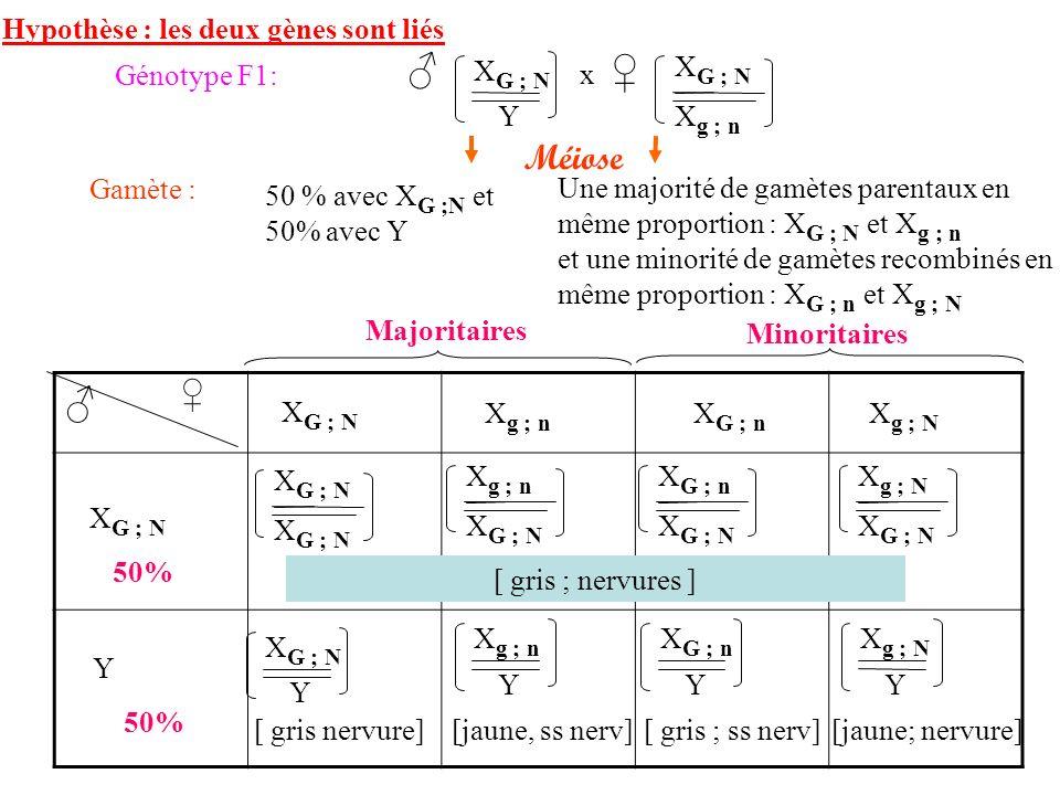 ♂ x ♀ ♂ Méiose ♀ Hypothèse : les deux gènes sont liés XG ; N XG ; N