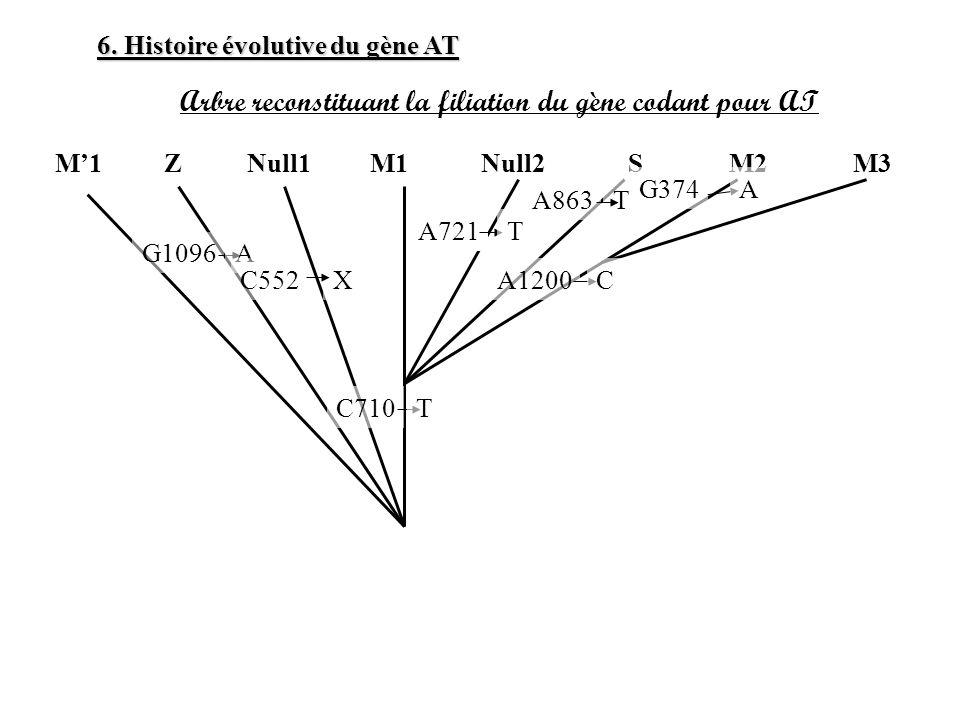 Arbre reconstituant la filiation du gène codant pour AT