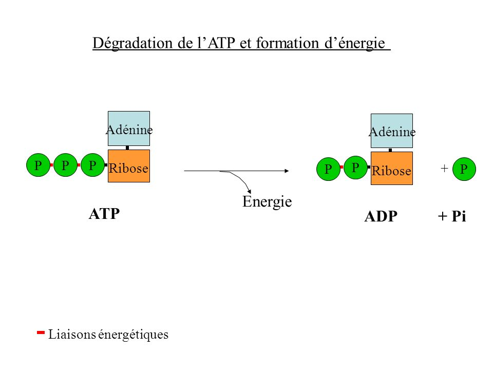 Dégradation de l'ATP et formation d'énergie