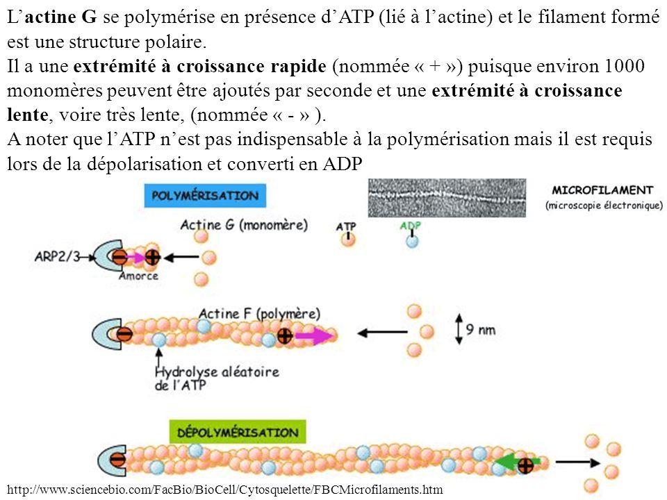 L'actine G se polymérise en présence d'ATP (lié à l'actine) et le filament formé est une structure polaire. Il a une extrémité à croissance rapide (nommée « + ») puisque environ 1000 monomères peuvent être ajoutés par seconde et une extrémité à croissance lente, voire très lente, (nommée « - » ). A noter que l'ATP n'est pas indispensable à la polymérisation mais il est requis lors de la dépolarisation et converti en ADP.