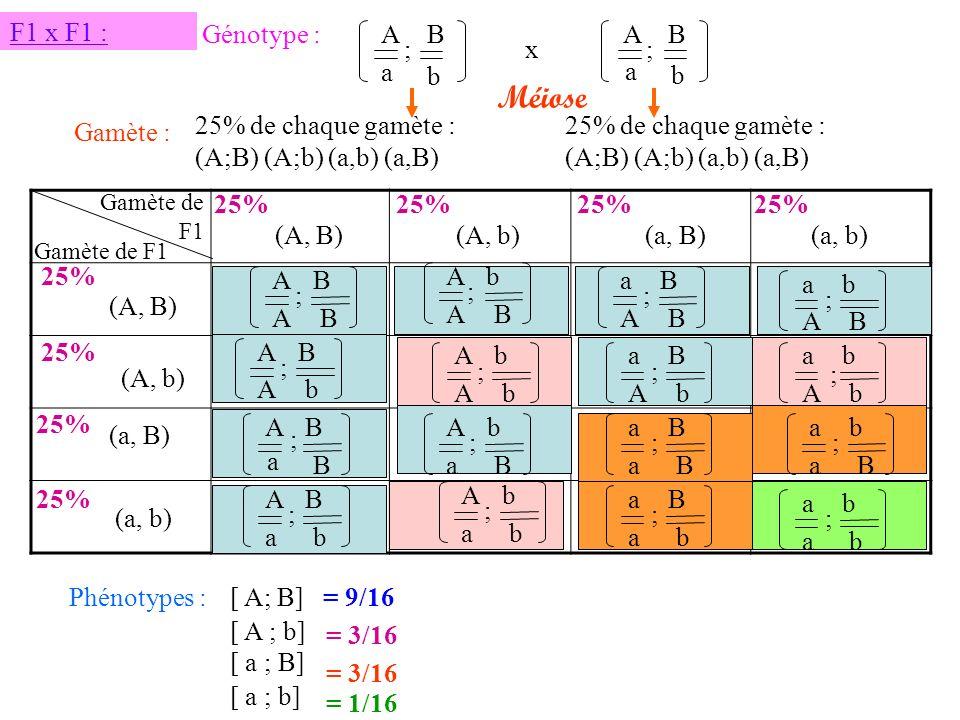 Méiose F1 x F1 : Génotype : A B A B ; x ; a b a b