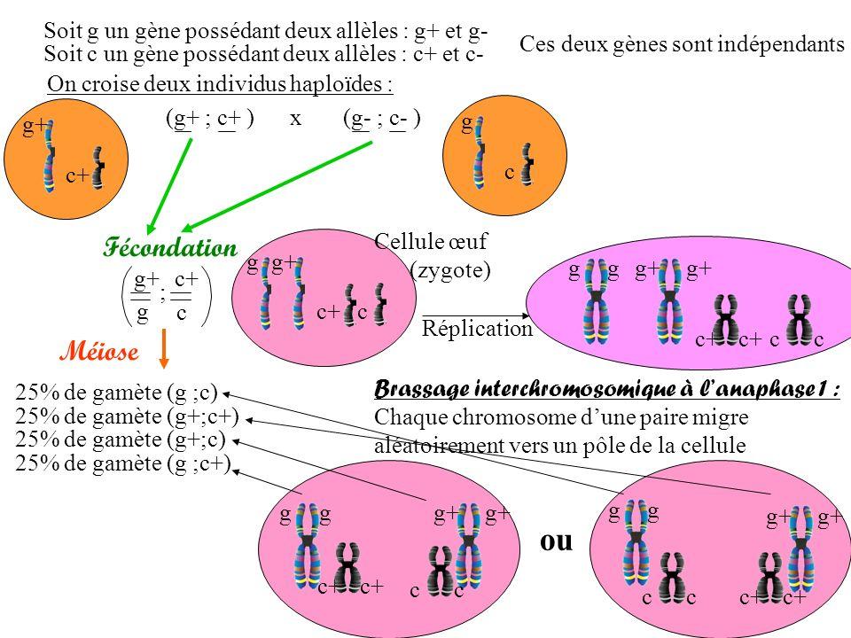 ou Fécondation Méiose Soit g un gène possédant deux allèles : g+ et g-
