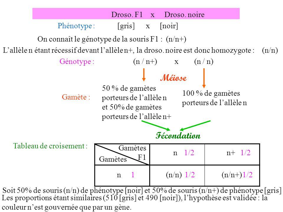 Méiose Fécondation Droso. F1 x Droso. noire Phénotype :