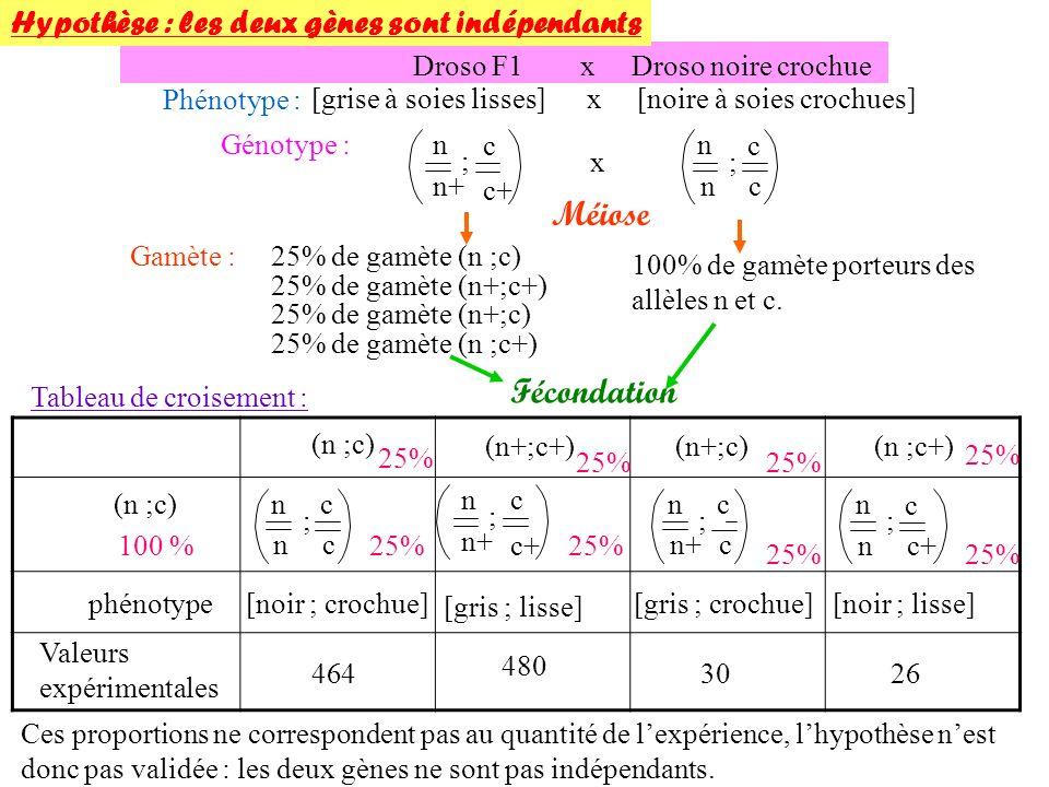 Méiose Fécondation Hypothèse : les deux gènes sont indépendants