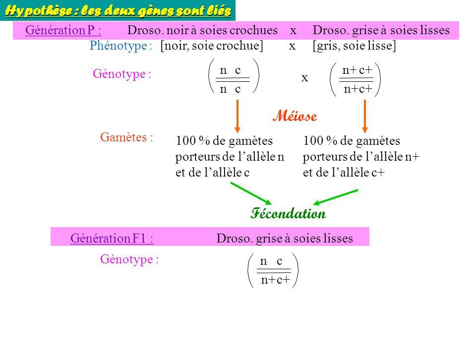 Méiose Fécondation Hypothèse : les deux gènes sont liés Génération P :