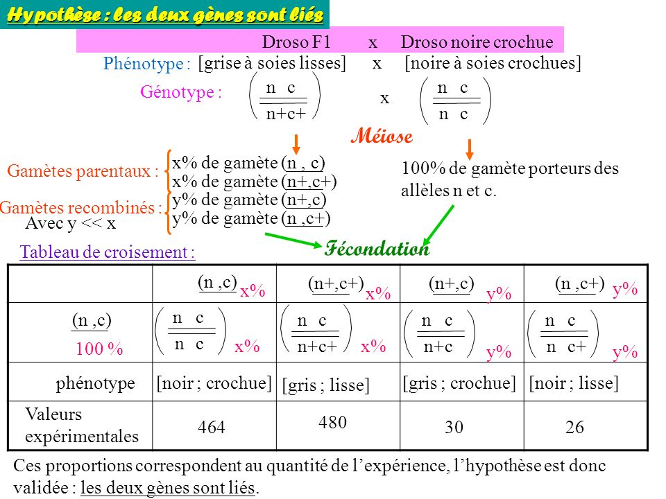 Méiose Fécondation Hypothèse : les deux gènes sont liés