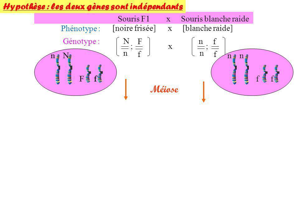 Méiose Hypothèse : les deux gènes sont indépendants