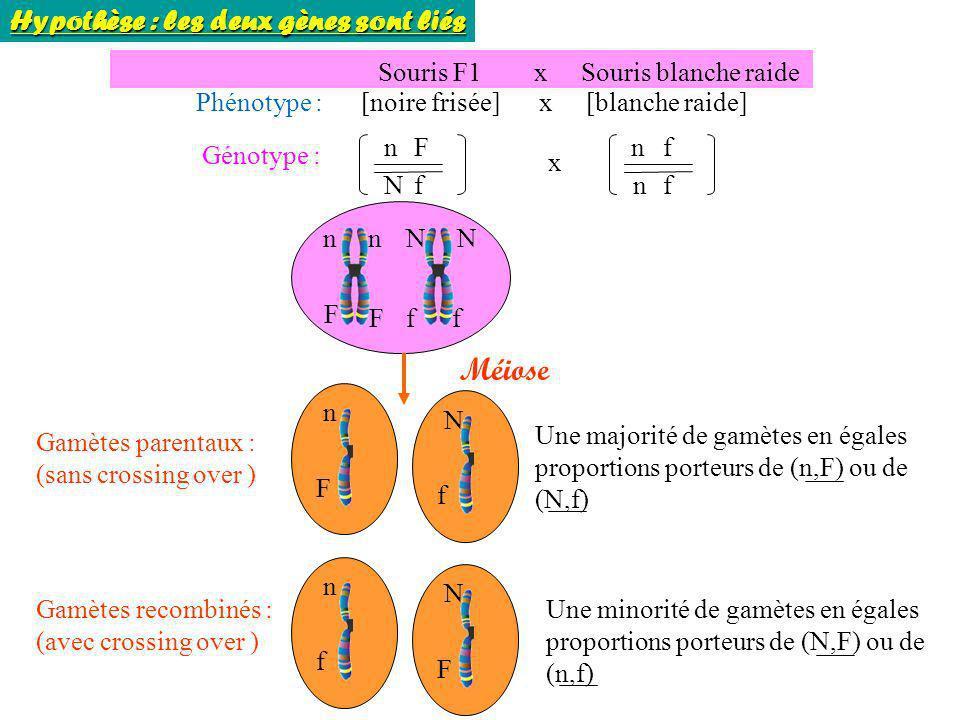 Méiose Hypothèse : les deux gènes sont liés