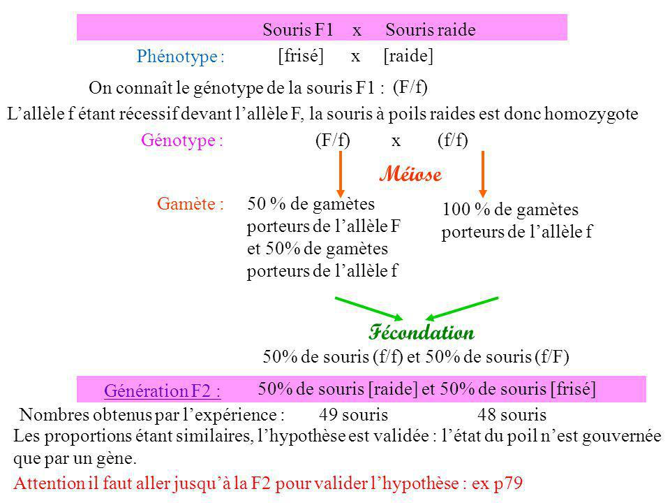 Méiose Fécondation Souris F1 x Souris raide Phénotype :