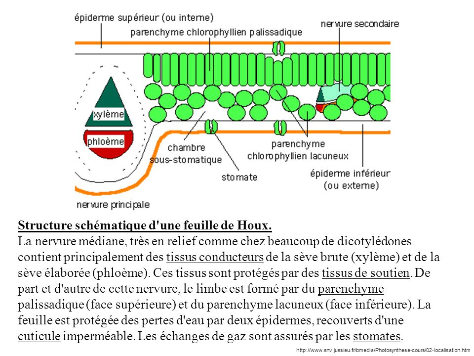 Structure schématique d une feuille de Houx