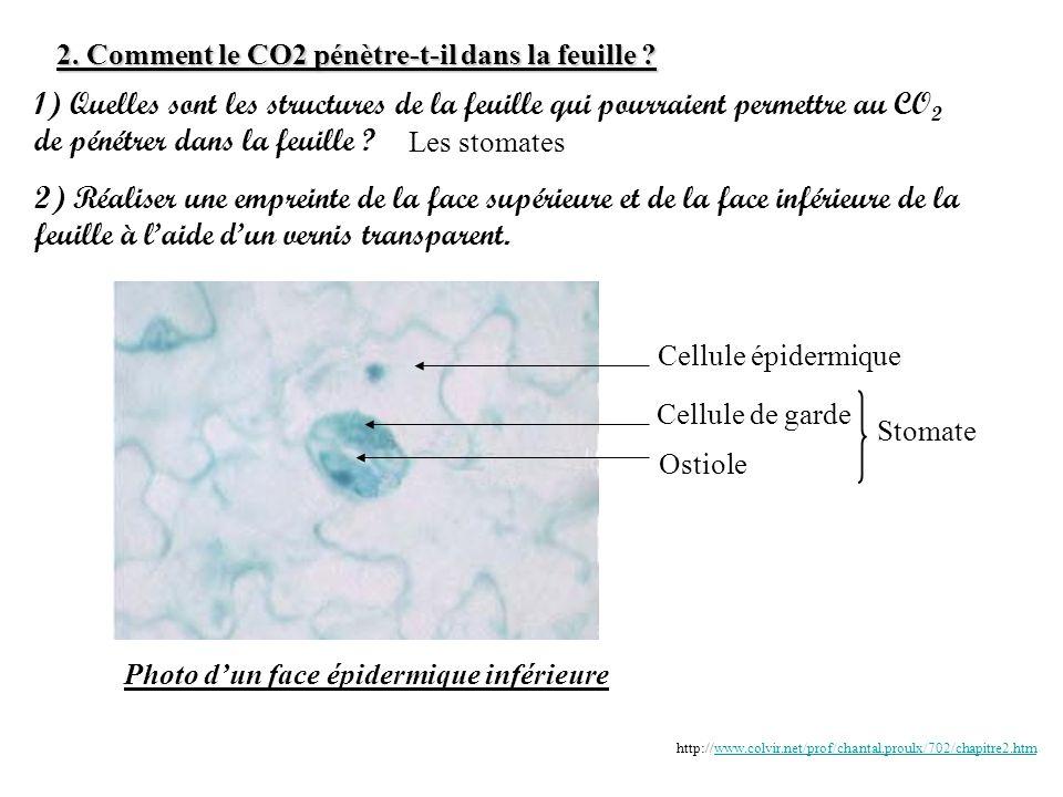 2. Comment le CO2 pénètre-t-il dans la feuille