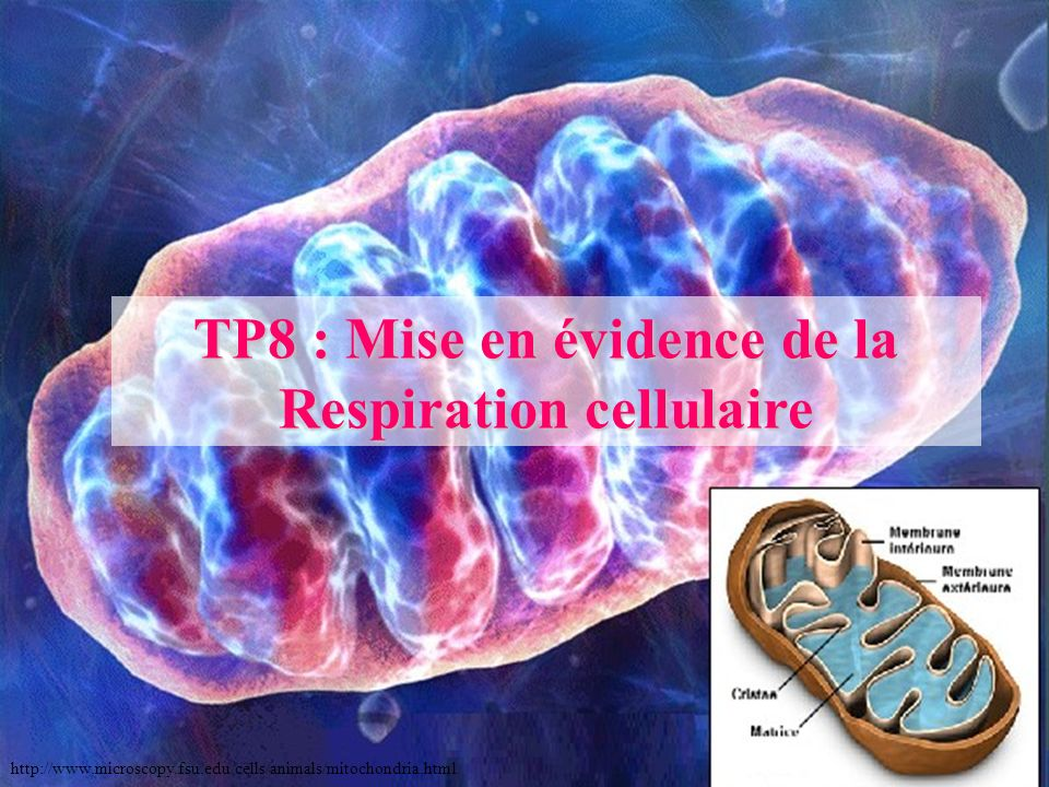 TP8 : Mise en évidence de la Respiration cellulaire