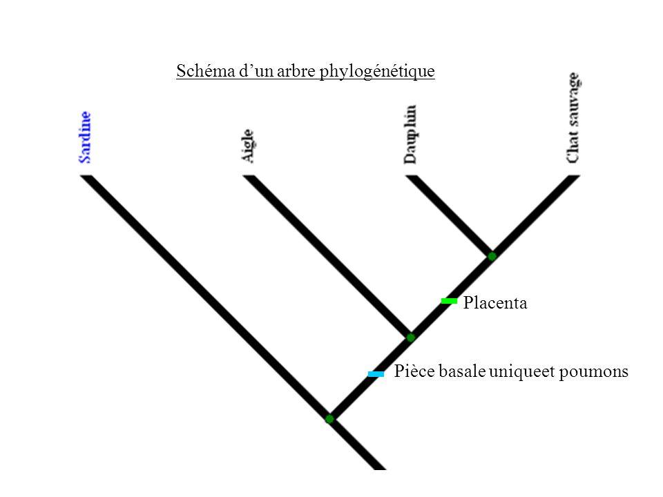 Schéma d'un arbre phylogénétique