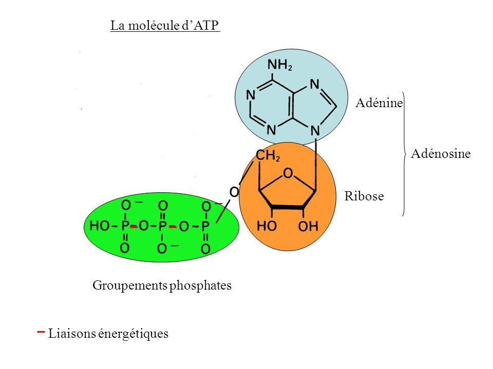 La molécule d'ATP Adénine Adénosine Ribose Groupements phosphates Liaisons énergétiques