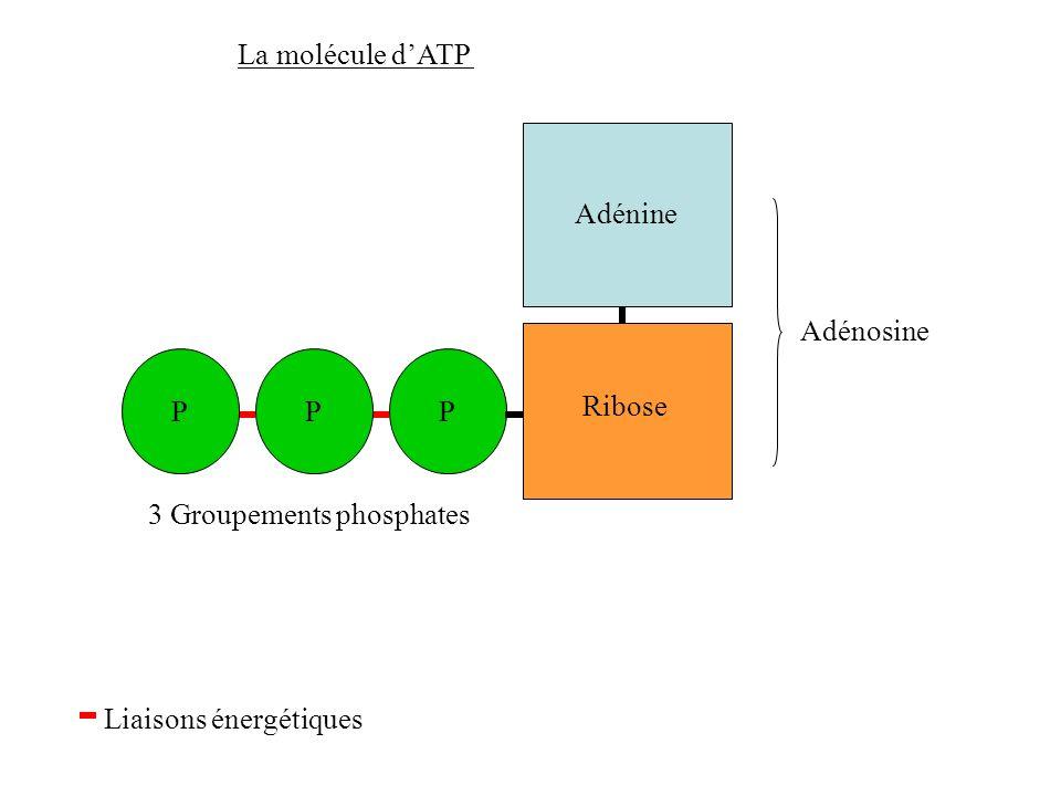 La molécule d'ATP Adénine Adénosine P P P Ribose 3 Groupements phosphates Liaisons énergétiques