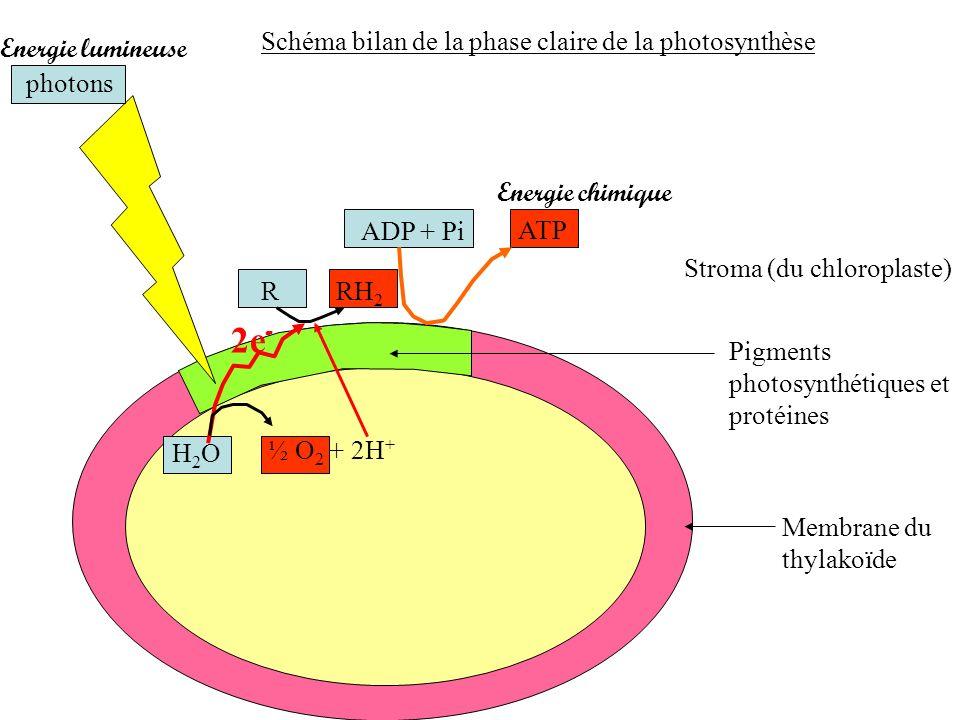 2e- Schéma bilan de la phase claire de la photosynthèse