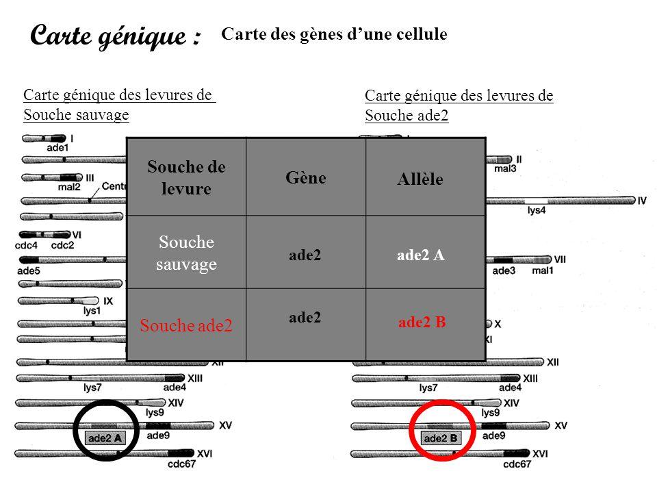 Carte génique : Carte des gènes d'une cellule Souche de levure Gène